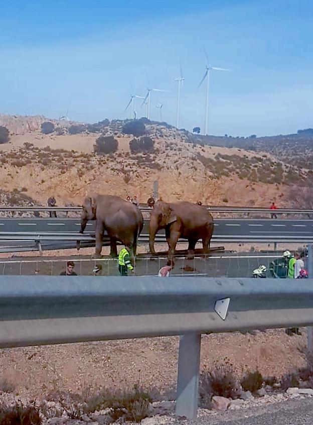 Dos de los elefantes accidentados andan desorientados por la autovía. :: Belén García / efe/